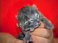 Two_head_kitty